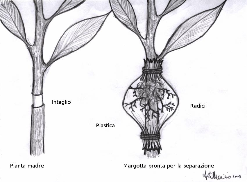 Margotta-01