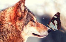 """Il lupo a guardia delle pecore: Telt e la farfalla """"dimenticata"""""""