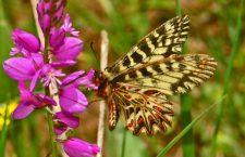 Il cerone di unito, le pagliacciate di TELT e l'habitat della farfalla notav